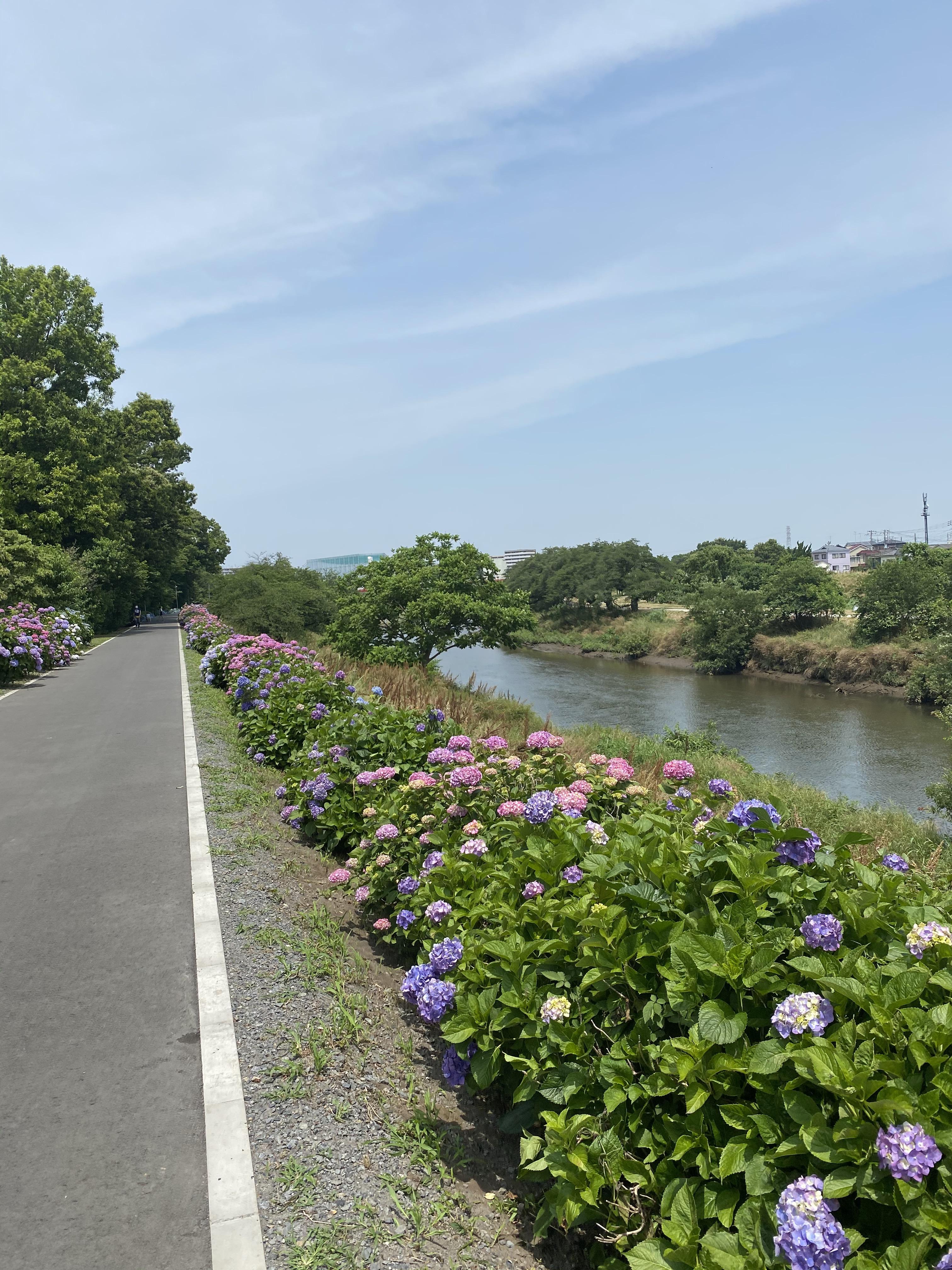 志木新河岸川あじさいロード