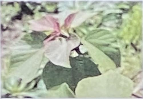 アカメガシワ(赤芽槲)